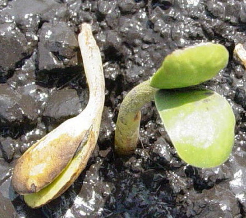 soybean-seedling-damping-off